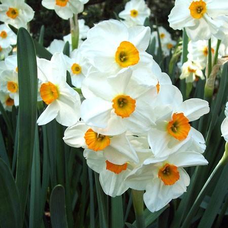 narcisse-geranium2.jpg