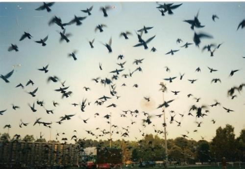 pigeons (1).jpg
